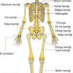 İnsanların Hareket Sistemi Nasıldır? İnsan Vücudu Nasıl Hareket Eder?