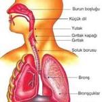 Solunum Sistemi Organları ve Görevleri Nelerdir? Soluk Alma Verme Nedir?