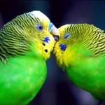 Muhabbet Kuşları Nasıl Çiftleşirler? Yuvası Nasıl Olmalıdır? Nasıl Beslenir? Nasıl Bakılır?