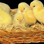 Civciv Nedir? Civciv Nasıl Beslenir? Civciv Nasıl Bakılır? Civcivler Evde Nasıl Beslenirler?