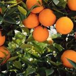 Akdeniz Bölgesinde Yetişen Tarım Ürünleri