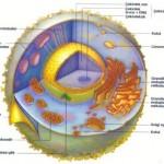 Hücrenin Yönetim Merkezi Neresidir? Bu Merkezin Görevleri
