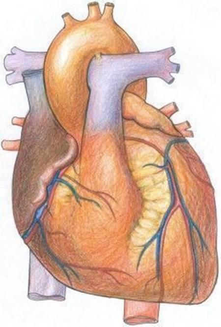 Kalp Nedir Kalbin çalışma Sistemi Ve Görevleri Nelerdir Kalp