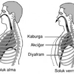 Soluk Alıp Verirken Hangi Organlarımızı Kullanırız?