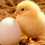 Hangi Hayvanlar Yumurtlayarak Çoğalır? Yumurta ile Çoğalan Hayvanlar