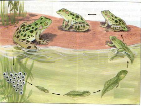başkalaşım-kurbağa