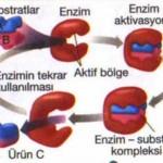 Enzimlerin Görevleri Nelerdir? Enzimlerin Yapısı ve Mekanizmaları