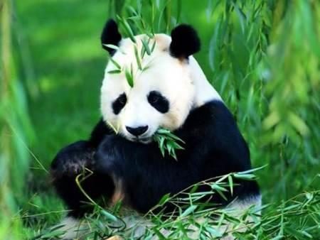 nesli tükenmekte olan hayvan-panda