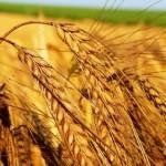 Buğday Nedir? Buğday Çeşitleri Nelerdir? Buğdaydan Neler Yapılır?