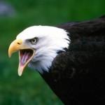 Kartal Nedir? Kartalların Özellikleri, Avlanmaları, Beslenmeleri, Çoğalmaları ve En Güzel Kartal İsimleri