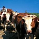 Simental ve Holstein İnekler Kaç Kilo Süt Verir? Simental ve Holstein İneklerin Özellikleri