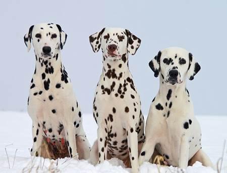 Dalmaçyalı köpeklerin anavatanı