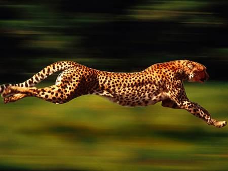 En Hızlı Hayvan Çita