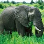 Fil Nedir? Fillerin Özellikleri Nelerdir? Fillerin Dişleri Neden Önemlidir? Filler Kaç Kilodur? Fil Türleri