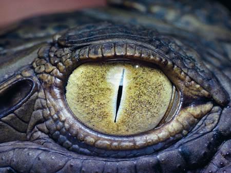 Timsah gözleri