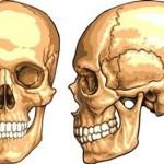 Kafatası Nedir? Kafatasının Yapısı ve Görevleri Nelerdir? Omurgalılarda Kafatası Bölümleri