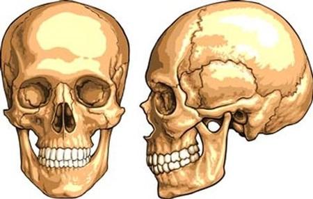 kafatası ile ilgili görsel sonucu