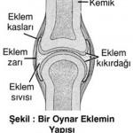 Eklem Nedir? Eklemlerin Çeşitleri ve Eklemlerin Görevleri