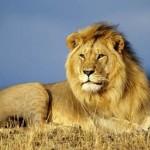 Aslan Nedir? Aslanlar Nasıl Hayvanlardır? Erkek Aslan, Dişi Aslan ve Yavru Aslan