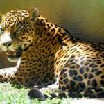 Jaguar Nedir? Jaguarların Özellikleri