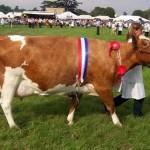 Ayrshire Sığırının Özellikleri