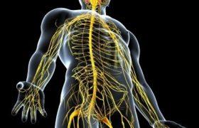 Çevresel Sinir Sistemi Nedir? Çevresel Sinir Sisteminin Bölümleri ve Görevleri