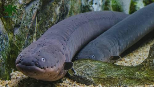 Elektrikli Yılan Balıkları Nasıl Elektrik Üretir?